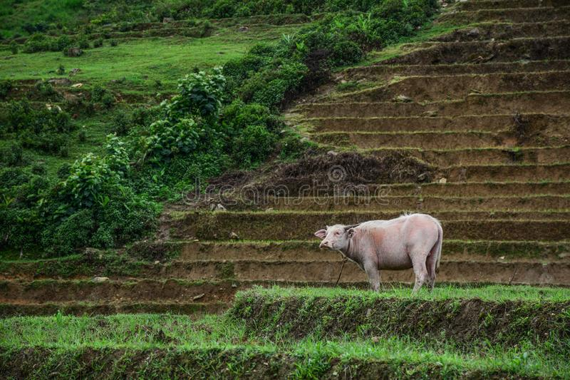 Búfalo de água vietnamiano preto e branco imagem de stock royalty free
