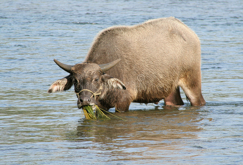 Búfalo de agua chino foto de archivo