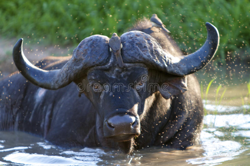 Búfalo de agua en charco foto de archivo