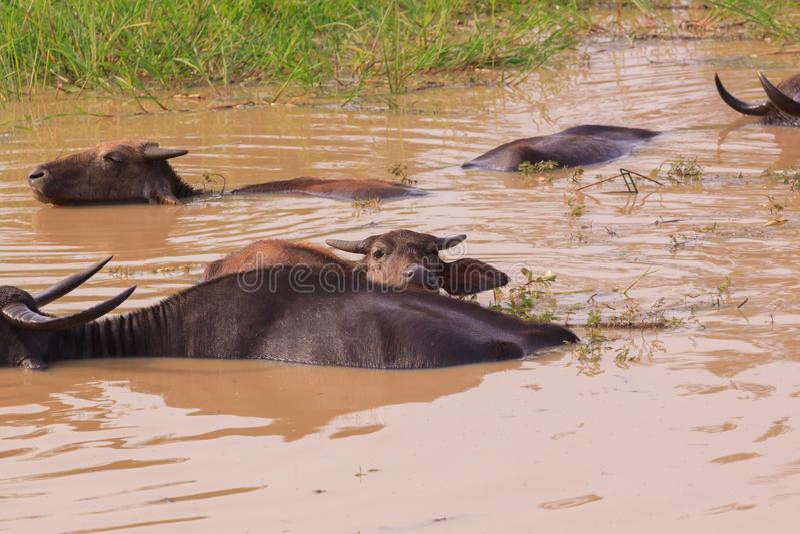 Búfalo de agua en el parque nacional de Yala, Sri Lanka imagenes de archivo