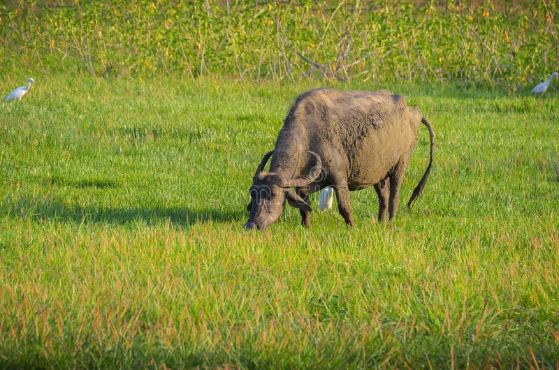Búfalo de agua en luz del sol de la mañana imágenes de archivo libres de regalías