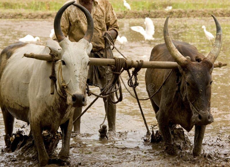Búfalo de agua que ara un campo de arroz de arroz foto de archivo libre de regalías