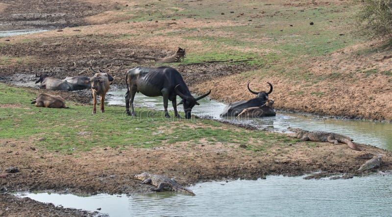 Búfalo de agua que descansa en el fango en la charca foto de archivo