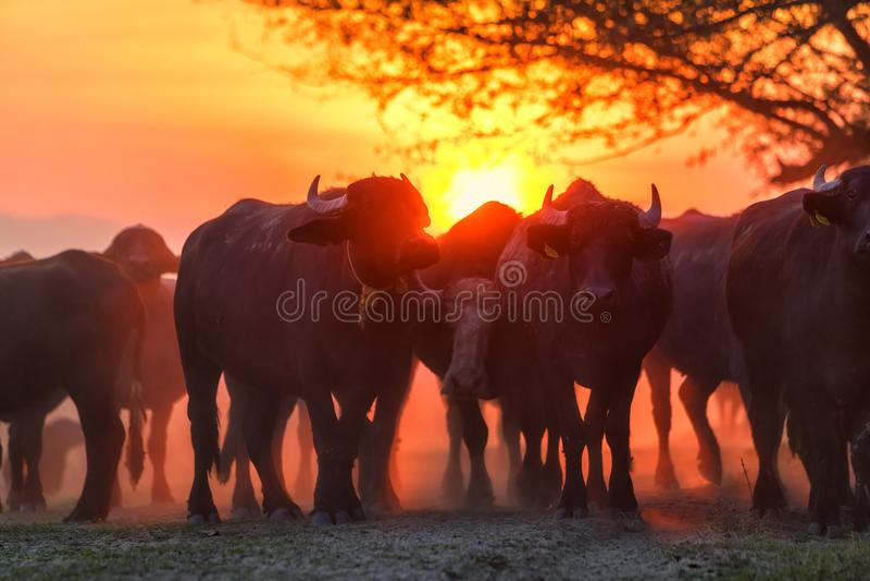 Búfalo de agua que pasta en la puesta del sol al lado del Strymon del río foto de archivo