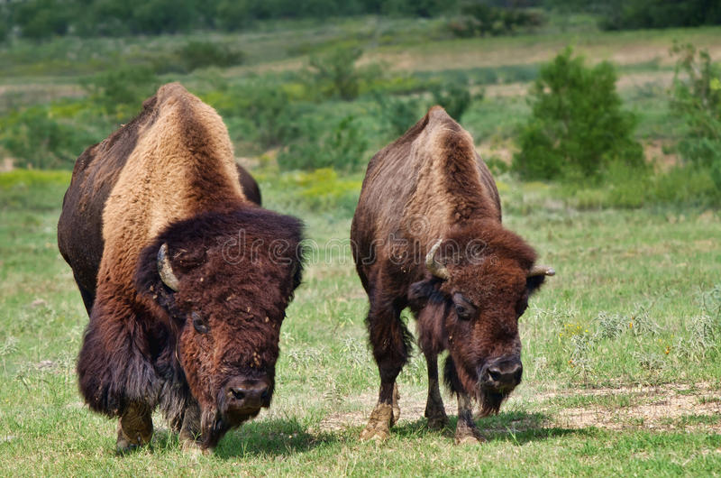 Búfalo de Bull y de la vaca foto de archivo