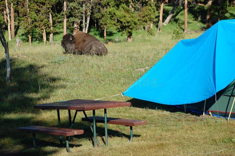 Búfalo de descanso de encontro (bisonte) no campground imagem de stock