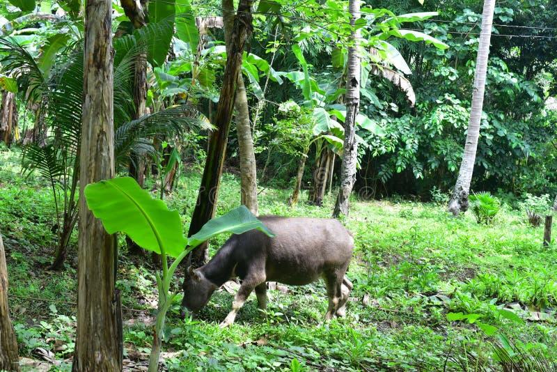 Búfalo de ganado en el patio foto de archivo libre de regalías