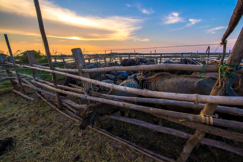 Búfalo de Tailandia en corral en la puesta del sol imágenes de archivo libres de regalías