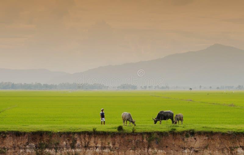 Búfalo de Vietname e o campo do arroz fotografia de stock royalty free