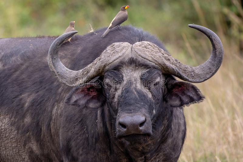 Búfalo del cabo, Kenia, África imagen de archivo