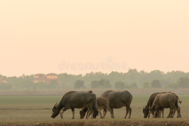 Búfalo del pantano en pantano de la turba alrededor de la laguna imágenes de archivo libres de regalías