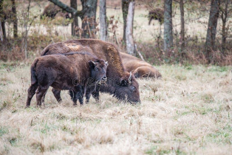Búfalo do bisonte americano fotos de stock