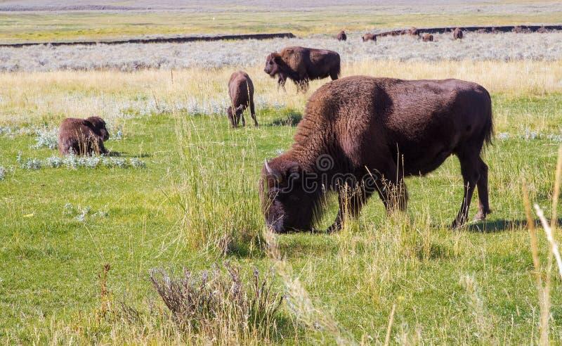 Búfalo do bisonte americano no parque nacional de Yellowstone, pastando EUA fotografia de stock
