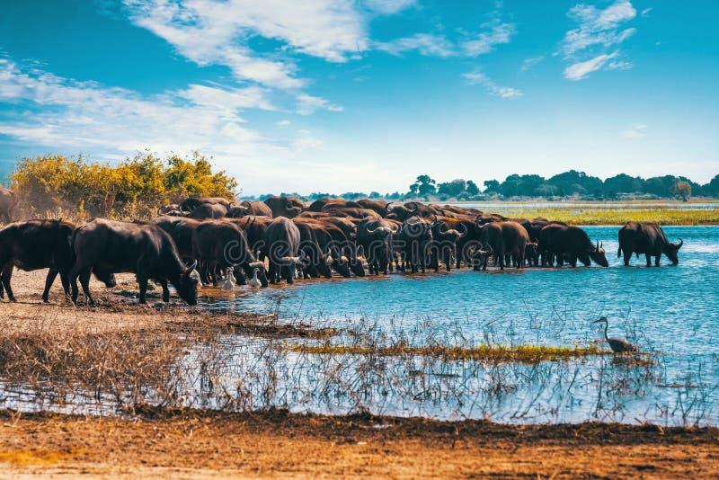 Búfalo do cabo animais selvagens do safari no rio de Chobe, Botswana imagens de stock