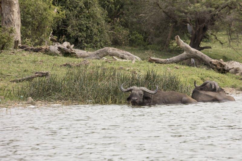 Búfalo do cabo, canal de Kazinga, rainha Elizabeth National Park, Ug fotos de stock