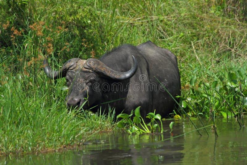 Búfalo do cabo que alimenta em Nile River fotografia de stock royalty free