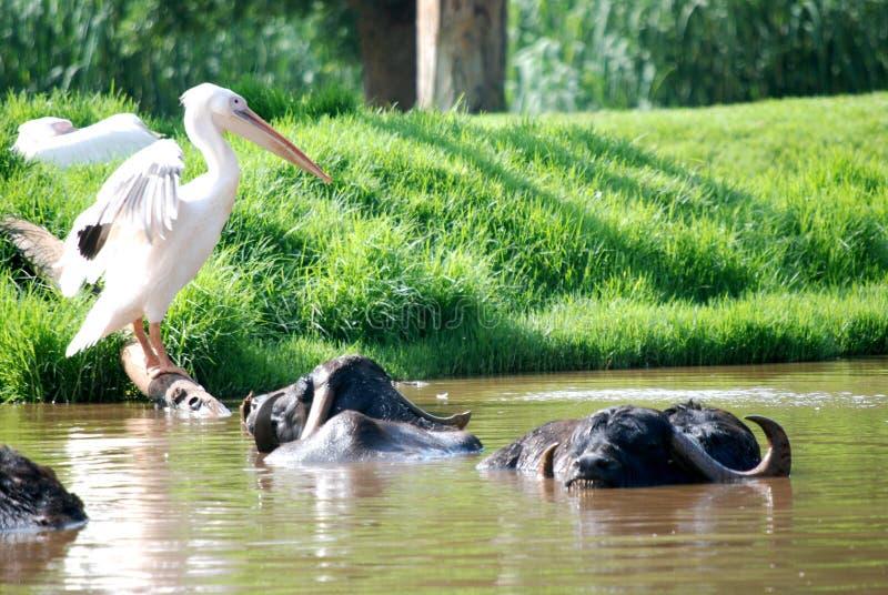 Búfalo do pelicano e de água imagem de stock