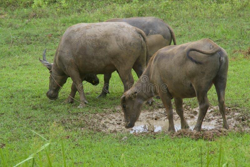 Búfalo en el campo foto de archivo