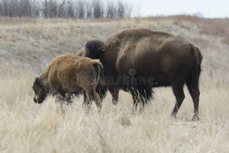 Búfalo en el Great Plains fotografía de archivo libre de regalías