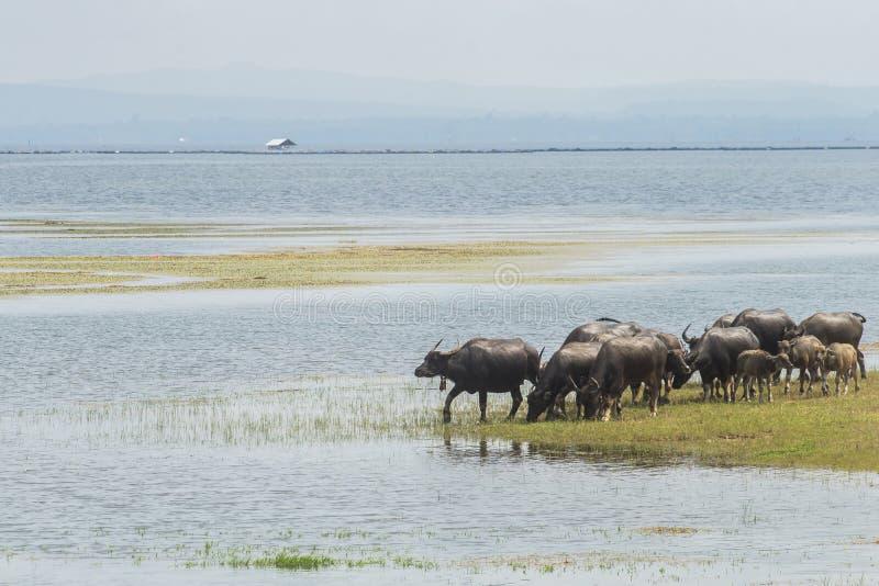 Búfalo en el lago, Tailandia imagen de archivo