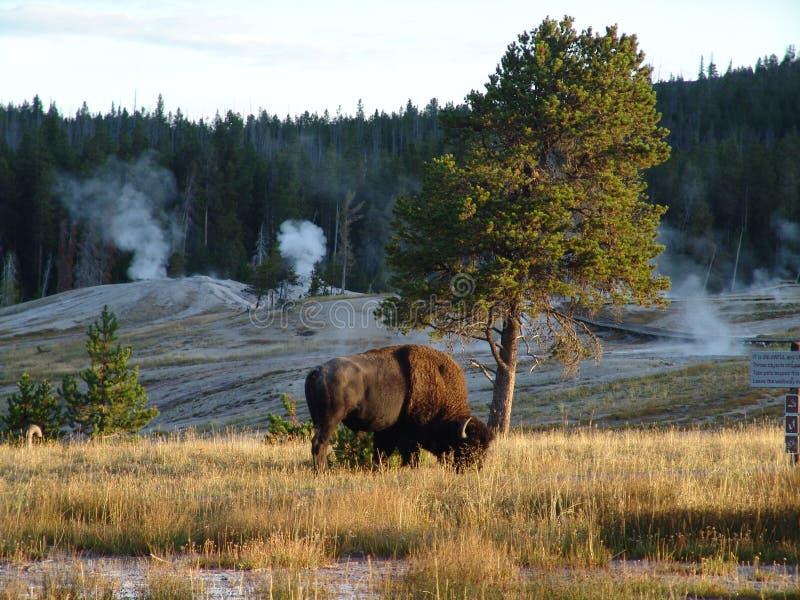 Búfalo en la pradera imagen de archivo libre de regalías