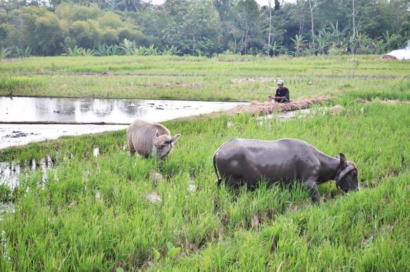 Búfalo en los campos Purworejo Indonesia imagen de archivo