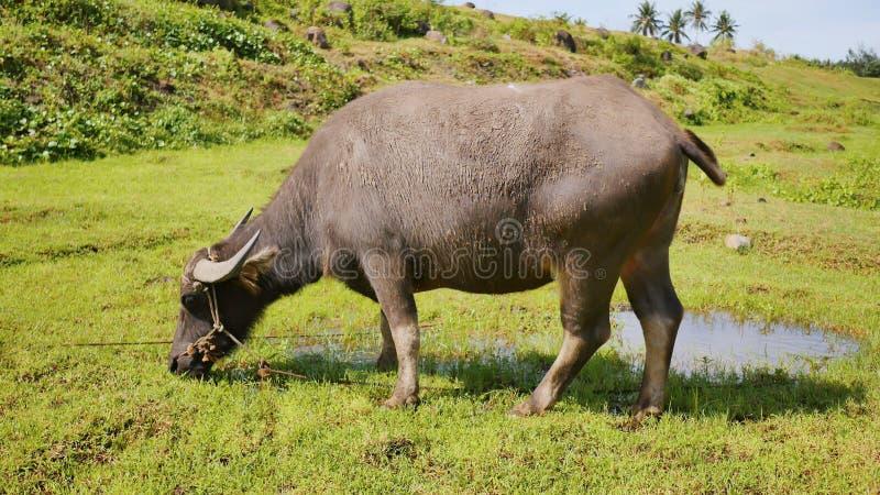 Búfalo filipino en campo Haga frente al primer filipinas foto de archivo