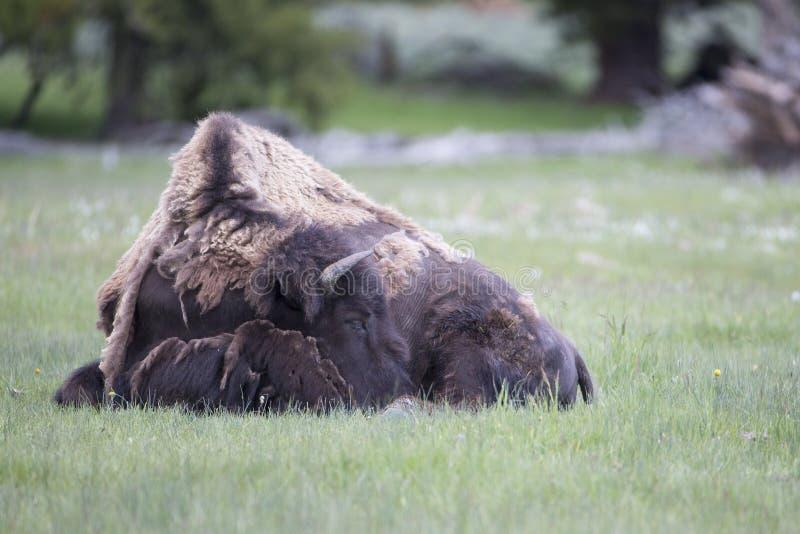 Búfalo furado que descansa com cabeça para baixo fotografia de stock