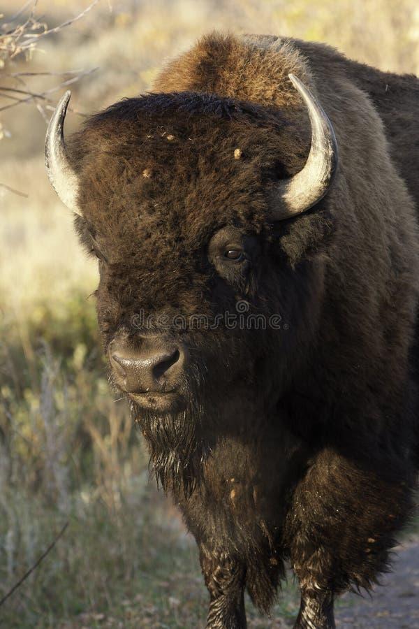 Búfalo grande foto de archivo