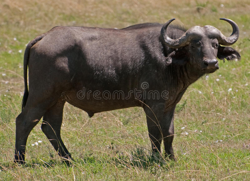 Búfalo masculino, Kenia foto de archivo