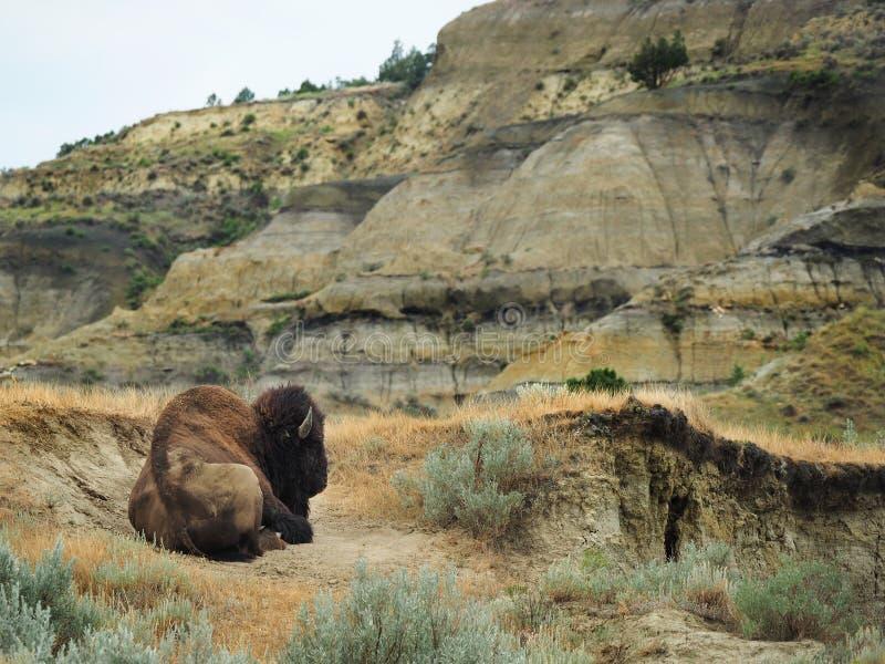 Búfalo masculino que descansa na paisagem original de North Dakota fotos de stock