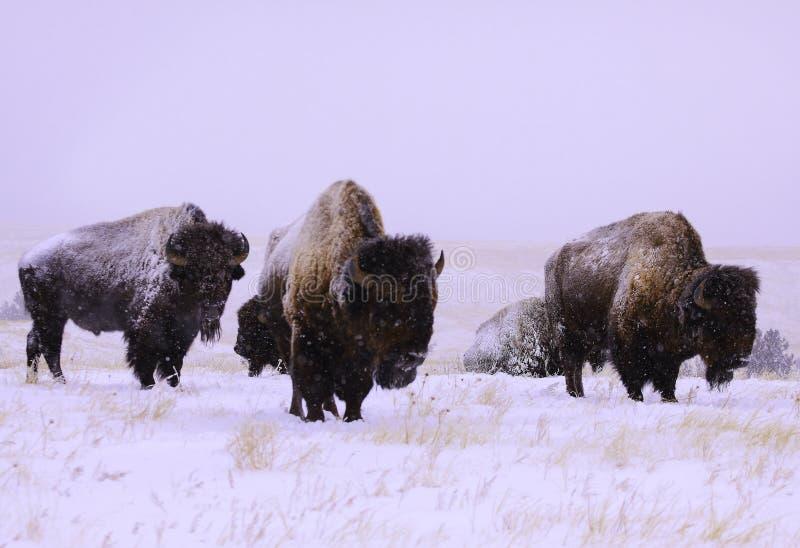 Búfalo na neve fotografia de stock