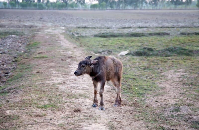 Búfalo novo em um fundo do campo foto de stock
