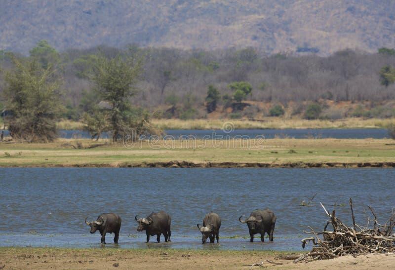 Búfalo por el río Zambezi imagen de archivo