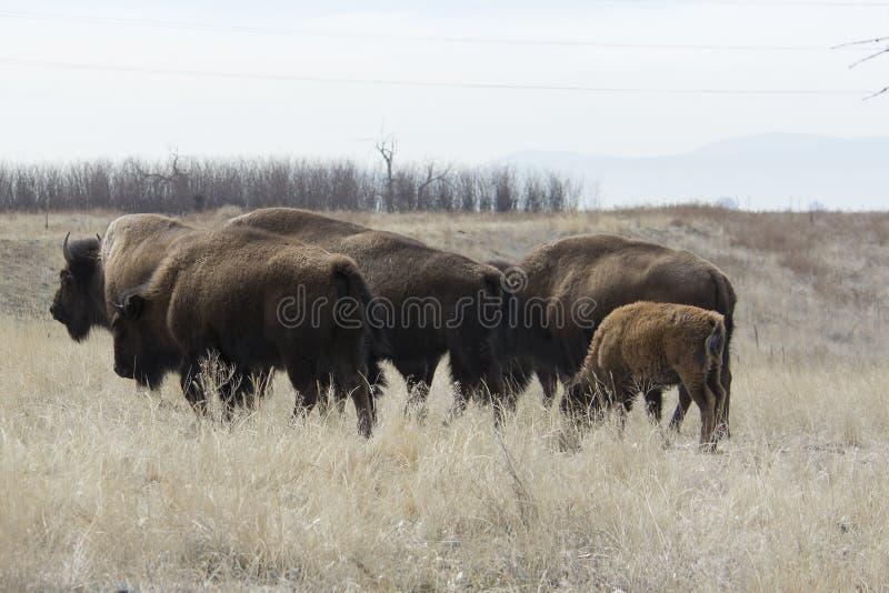 Búfalo que camina en el gran llano fotografía de archivo libre de regalías