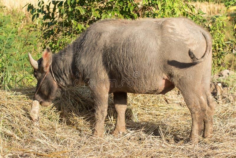 Búfalo que come la paja en el campo imagenes de archivo