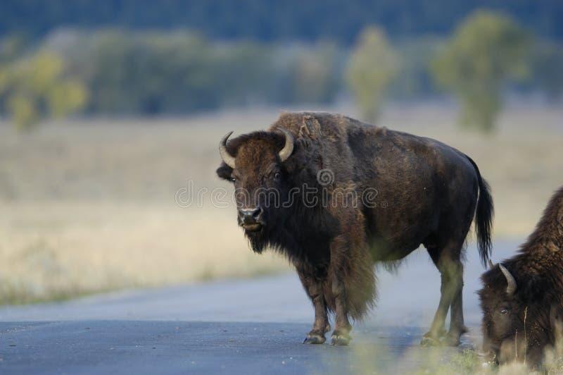 Búfalo que está na estrada fotos de stock