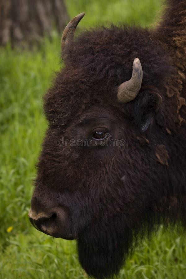 Búfalo que pasta en hierba del resorte del rancho fotografía de archivo libre de regalías