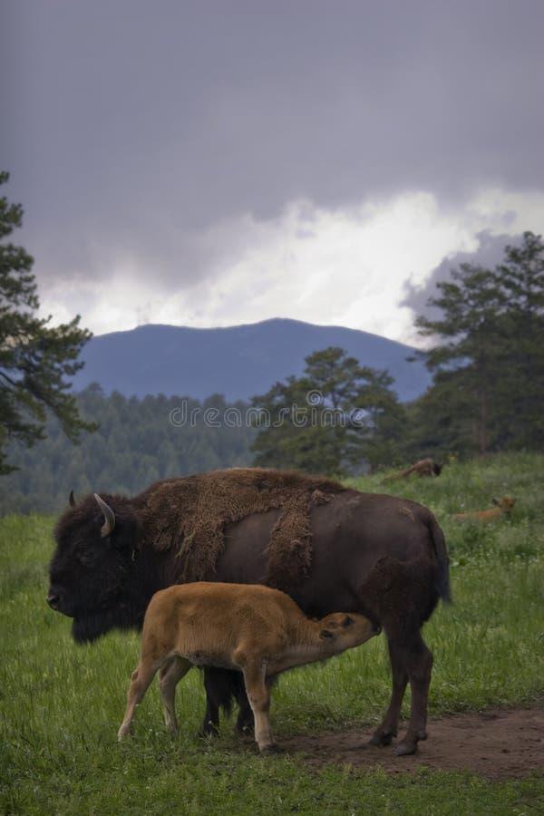 Búfalo que pasta en hierba del resorte del rancho con el becerro imagen de archivo libre de regalías