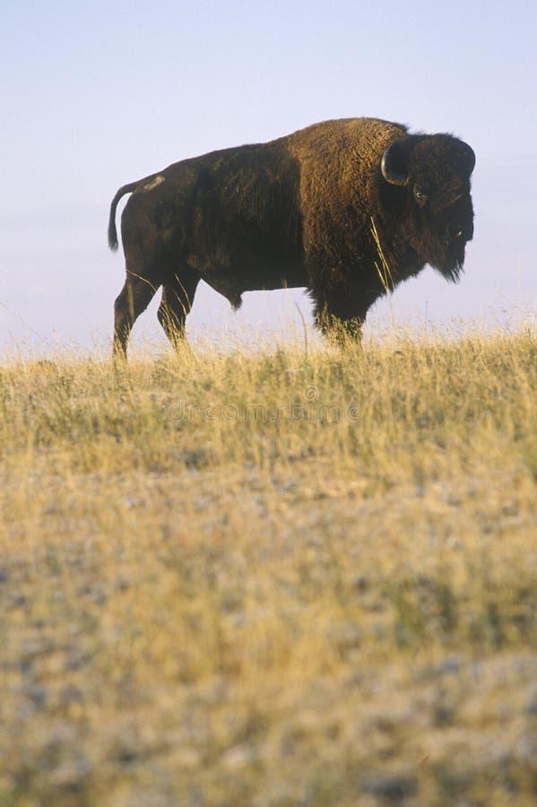 Búfalo que pasta na escala, reserva natural nacional de Niobrara, NE fotos de stock