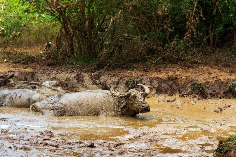 Búfalo que refrigera para baixo em uma lagoa imagem de stock royalty free