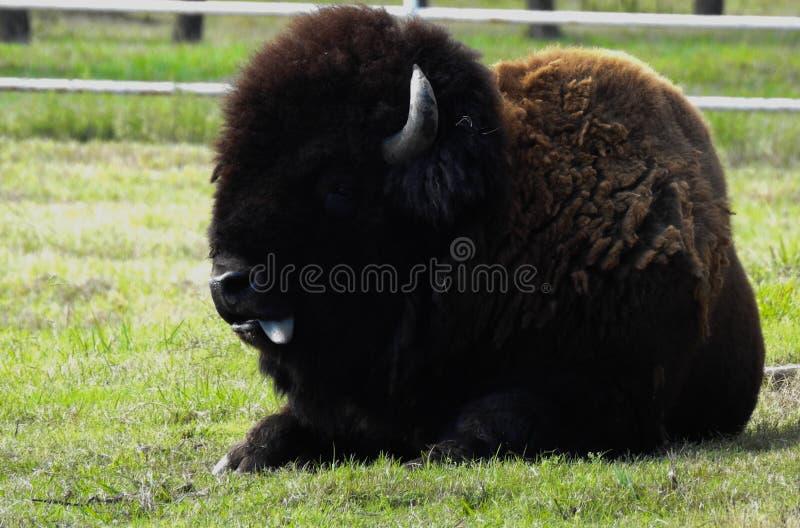 Búfalo que se sienta fotografía de archivo libre de regalías