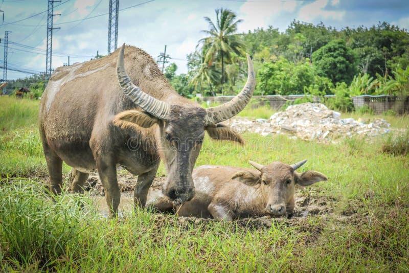 búfalo que vive en el prado fotografía de archivo