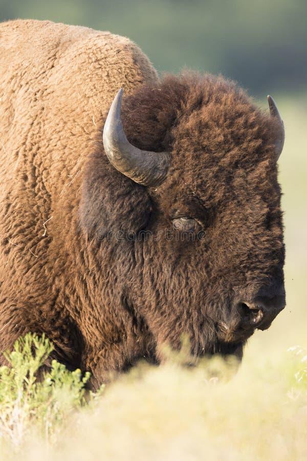 Búfalo solitario soñoliento fotos de archivo libres de regalías