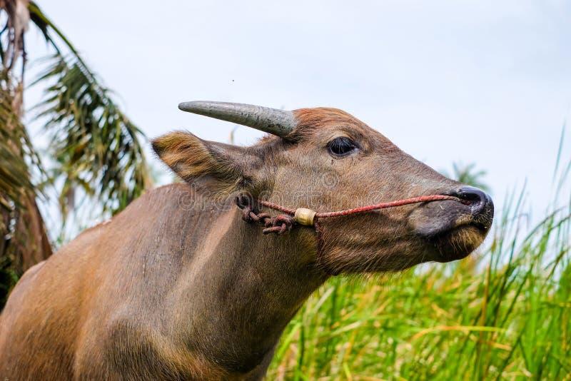 Búfalo tailandés en el campo foto de archivo libre de regalías