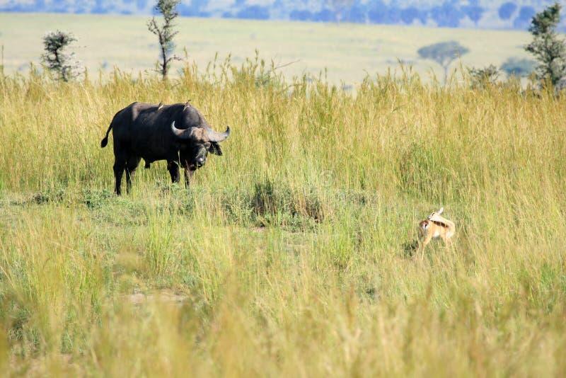 Búfalo, Uganda, África imagens de stock