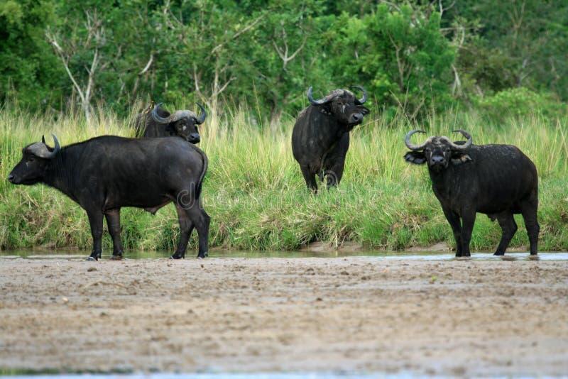 Búfalo, Uganda, África fotografia de stock