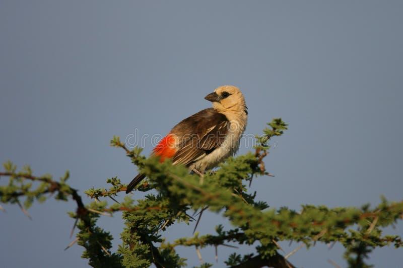 Búfalo Weaver Bird fotos de stock royalty free