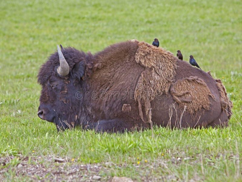 Búfalo y Cowbirds americanos en Yellowstone fotografía de archivo