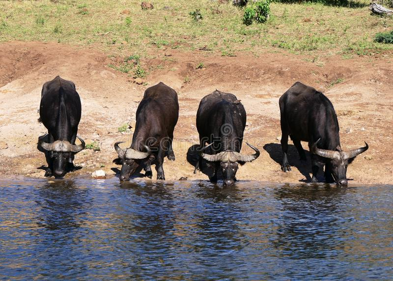 Búfalos africanos em um lugar molhando no parque de Chobe, Botswana foto de stock royalty free